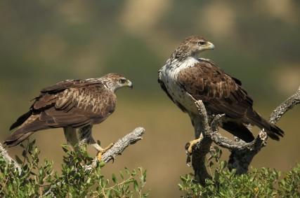 Àguila cobarrada
